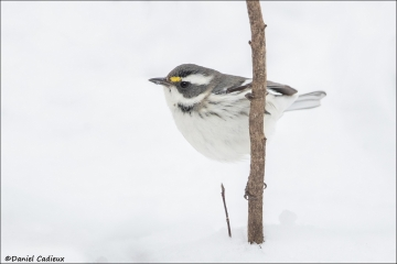 Black-throated Gray Warbler_3112-17