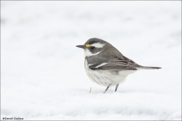 Black-throated Gray Warbler_3206-17