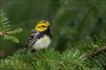 Black-throated Green Warbler_0223-18