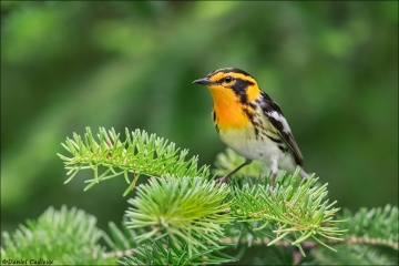 Blackburnian Warbler_4785-18
