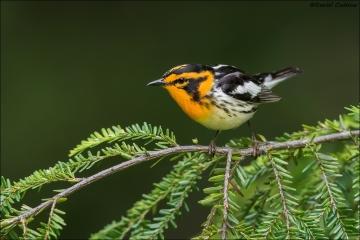Blackburnian Warbler_4801-18