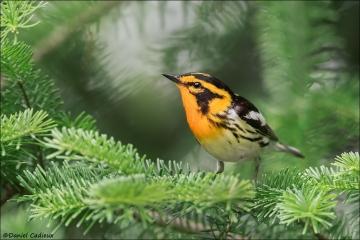 Blackburnian Warbler_5363-18