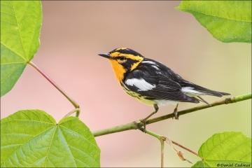 Blackburnian Warbler_5498-18