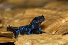 Blue-spotted_Salamander_4225-14