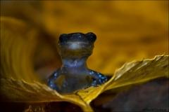 Blue-spotted_Salamander_4245-14