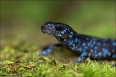 Blue-spotted_Salamander_5234-17