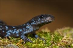 Blue-spotted_Salamander_9521-14
