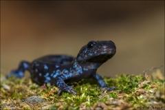 Blue-spotted_Salamander_9524-14