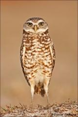 Burrowing_Owl_0197-09