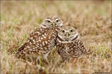 Burrowing_Owl_8553-09