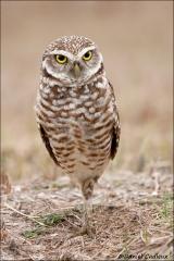 Burrowing_Owl_8648-09