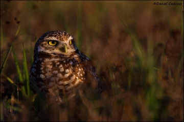Burrowing_Owl_R1E7505-11