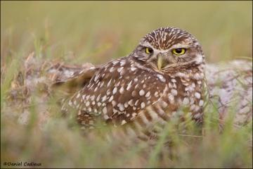 Burrowing_Owl_R1E7524-11