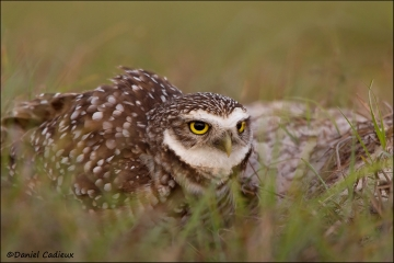 Burrowing_Owl_R1E7532-11