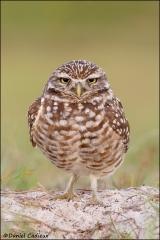 Burrowing_Owl_R1E7562-11