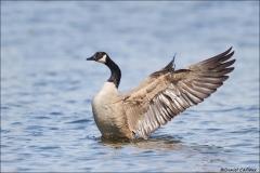 Canada_Goose_0329-15