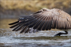 Canada_Goose_1359-15