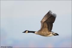 Canada_Goose_7699-13