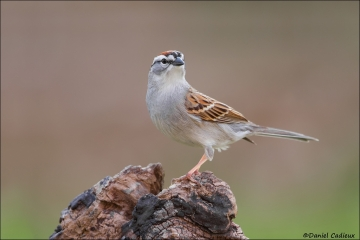Chipping_Sparrow_3863-15