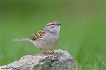 Chipping_Sparrow_6493-13