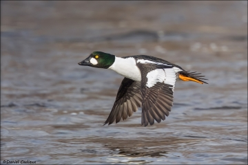 Common Goldeneye_6962-18