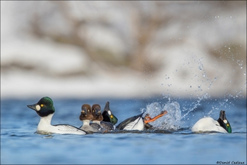 Common Goldeneye_8244-18