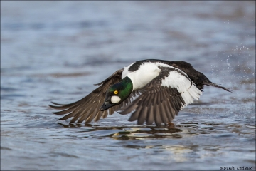 Common Goldeneye_8437-18