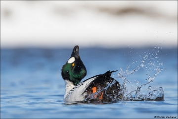 Common Goldeneye_8795-18