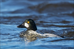 Common_Goldeneye_0723-16
