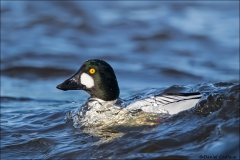 Common_Goldeneye_0741-16