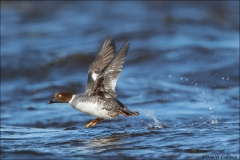 Common_Goldeneye_0823-16