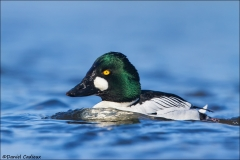 Common_Goldeneye_2348-14