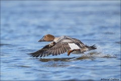Common_Goldeneye_3483-17
