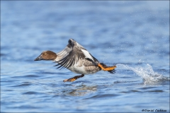Common_Goldeneye_3484-17