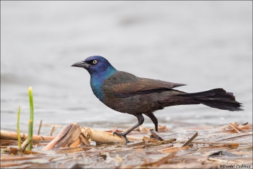 Common Grackle_5608-18