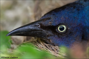 Common Grackle_2639-13