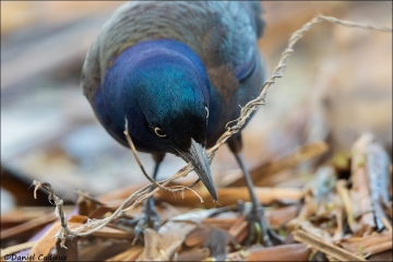 Common Grackle_3697-16