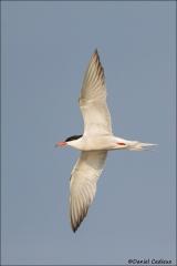 Common_Tern_6268-15