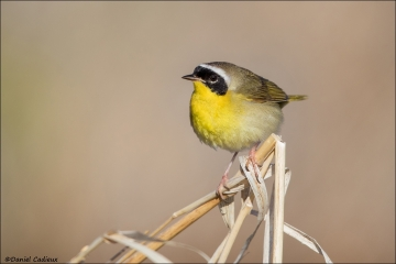 Common Yellowthroat_7701-18
