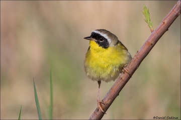 Common Yellowthroat_7801-18