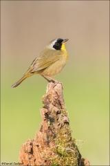 Common_Yellowthroat_4102-16