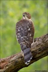 Cooper's_Hawk_1579-12