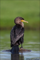 Double-crested_Cormorant_0103-13