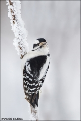 Downy Woodpecker_5344-18