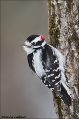 Downy_Woodpecker_6036-15