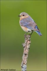 Eastern_Bluebird_2064-13