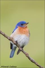 Eastern_Bluebird_2152-13