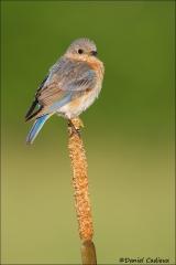 Eastern_Bluebird_4044-13