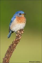 Eastern_Bluebird_4061-13