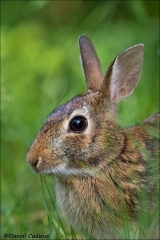 Eastern_Cottontail_2986-17